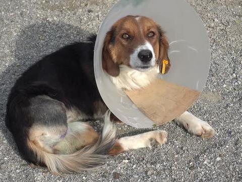 狗狗接受腿部手术,主人该如何进行护理?关于狗狗腿部术后护理