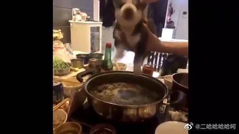 活炖哈士奇,狗狗表示已经吓尿