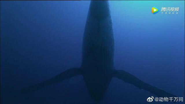 """座头鲸哼着""""跑调""""的流行歌曲,灵魂歌手就是这么任性!"""