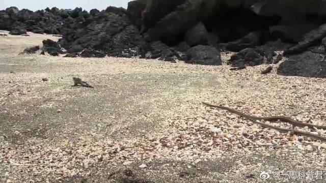 鬣蜥穿越敌蛇封锁线,这是一场生存的竞赛,场面惊心动魄