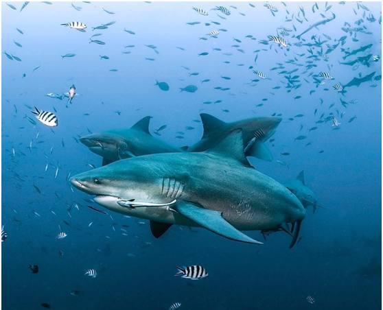 天生坏小孩:小牛鲨捕食野猪,澳洲淡水鳄,锯鳐