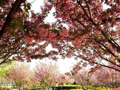鹤壁第5界樱花节:2万樱花正开时,邀您赏花放风筝尝小吃看音乐会