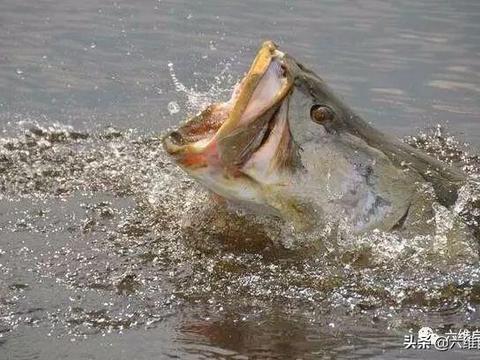 最大淡水鱼之一,尼罗河鲈鱼入侵淡水鱼产区,成最强入侵物种之一