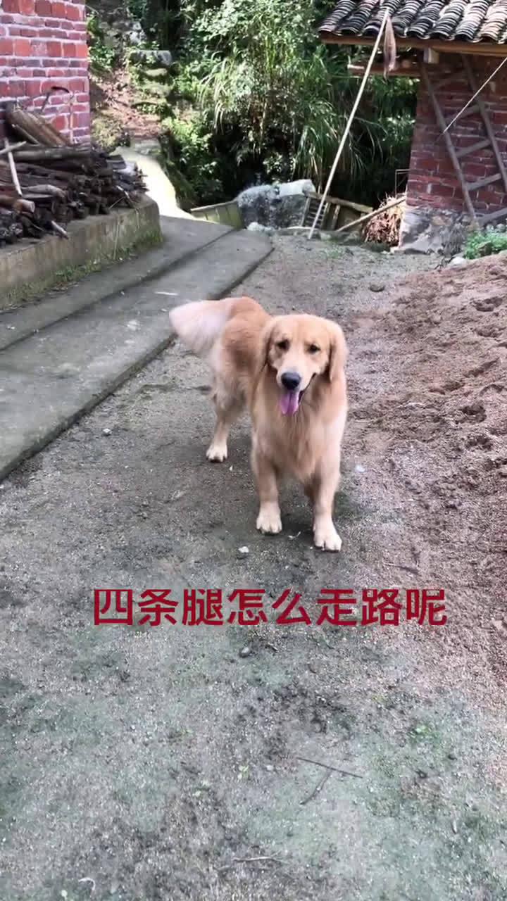 金毛实力演绎四条腿和三条腿怎么走路