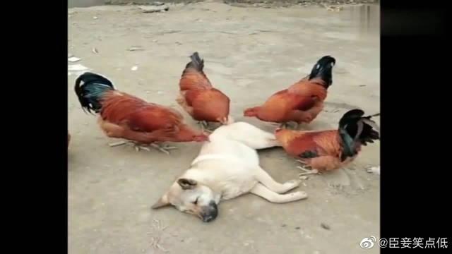 搞笑视频,这只中华田园犬才是狗生赢家