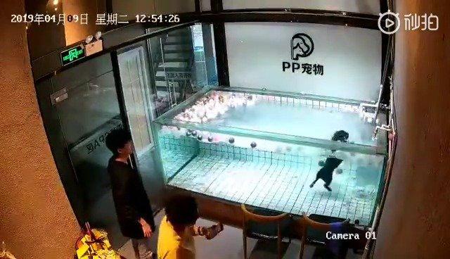 某宠物店一幕,主人带宠物狗(法斗)去游泳