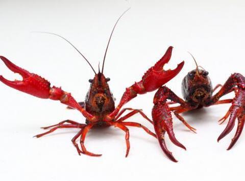 小龙虾养殖、销售和消费为何如何火爆?
