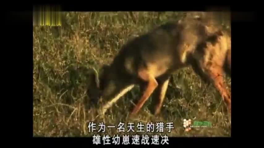 胡狼家族:公狼太自私了,它拒绝分享食物,即使幼崽苦苦哀求!