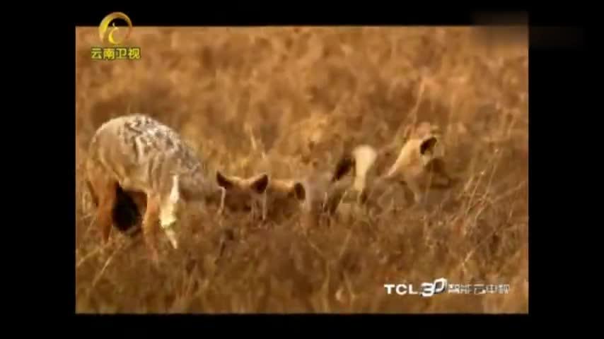 胡狼家族:动物界的弱肉强食!小胡狼抢肉吃,顾不上手足之情