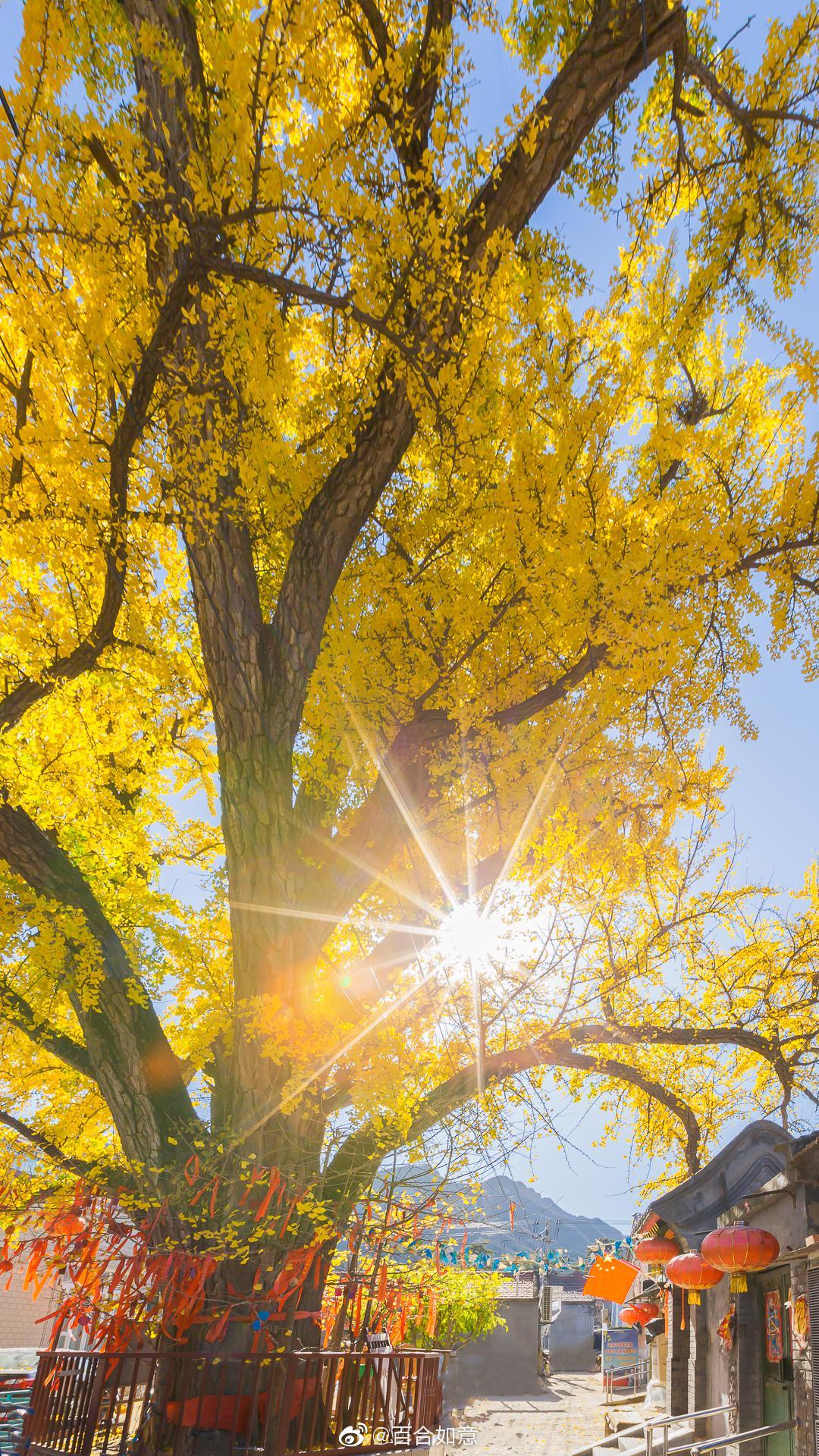 北京最美乡村康陵村,800多年古银杏树王,枝繁叶茂,硕果累累