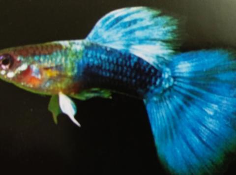 霓虹礼服孔雀鱼,也叫蓝礼服孔雀鱼,蓝色系孔雀鱼的鼻子