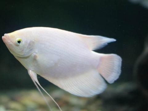 新手养观赏鱼有哪些好养品种?有你认识的吗?