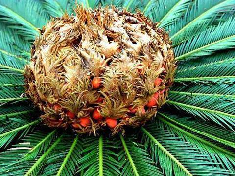 这树传说千年开一次花,果实俗称凤凰蛋,有镇咳祛痰功效,真少见