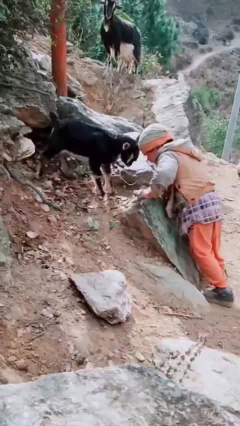 村里有个小孩叫小芳,脱下帽子和山羊对刚