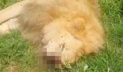"""南非16只狮子遭偷猎者毒死,剁四肢做""""魔药"""",幼崽喝母乳身亡"""