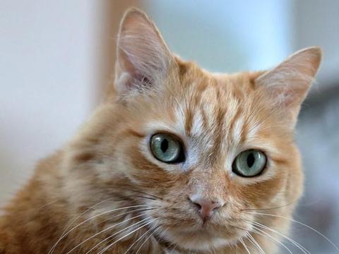 猫耳朵变秃真是猫咪挠出来的?这3种东西才是主谋,撸猫后要洗手