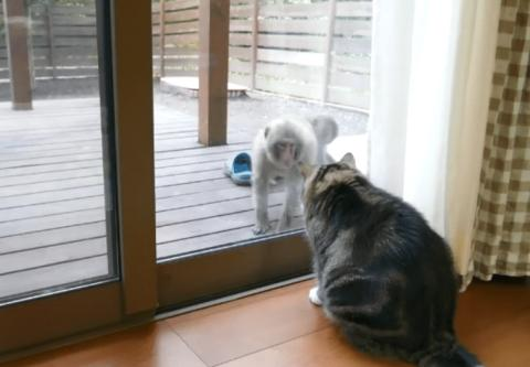 2只猴子闯进后院,猫咪在屋内警告,护犊子的猴妈妈却让它很尴尬