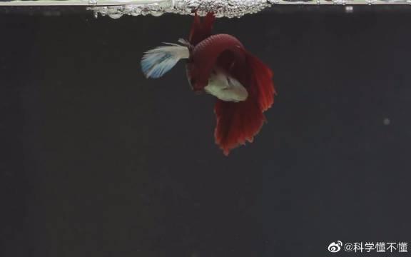3分钟看完暹(xiān)罗斗鱼(泰国斗鱼)的生命周期