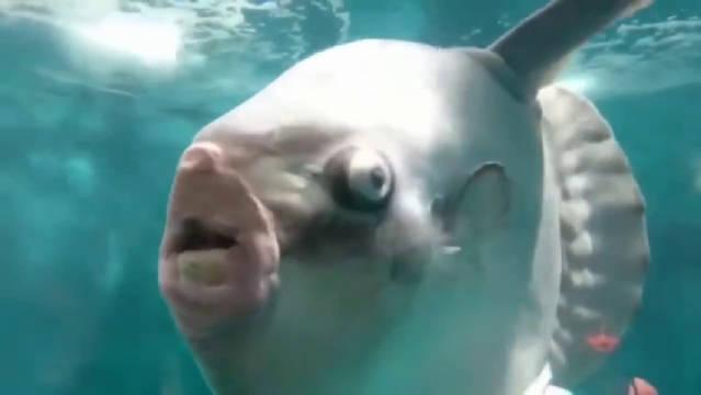 它为什么叫翻车鱼,但是看起来有些莫名的惊悚,感觉莫名的搞笑