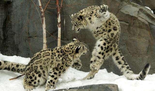 动物世界里的战斗, 同类相残甚是惨烈!