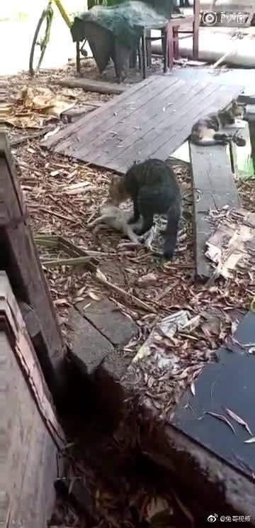 小猫掉河里,猫妈亲自叼上来抢救,一直踩小猫肚子排水