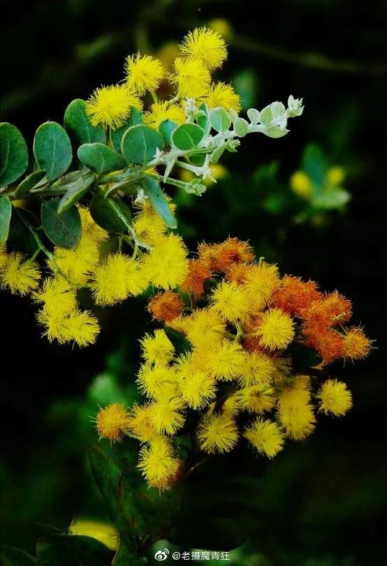 金合欢,别名:鸭皂树、刺球花、消息树等;灌木或小乔木,树皮粗糙
