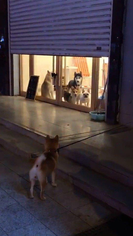 秋田无所谓的样子柯基很羡慕的样子柴犬和法斗想干外面那只狗的样子