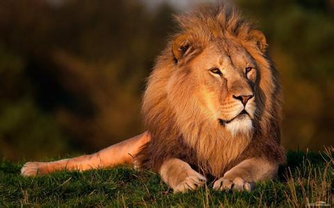 为什么有饿死的狮子而没有饿死的老虎?