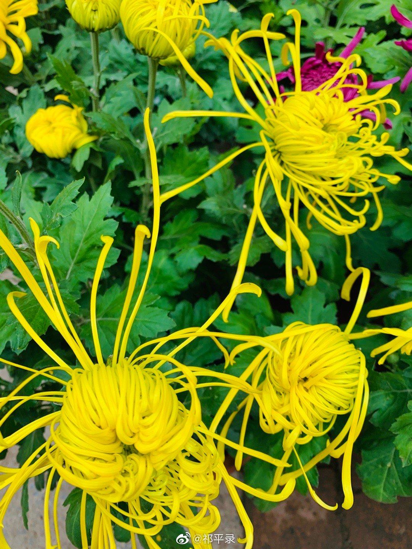 九月菊,秋冬清晨赏菊花,感恩当下,携手并肩送香来……