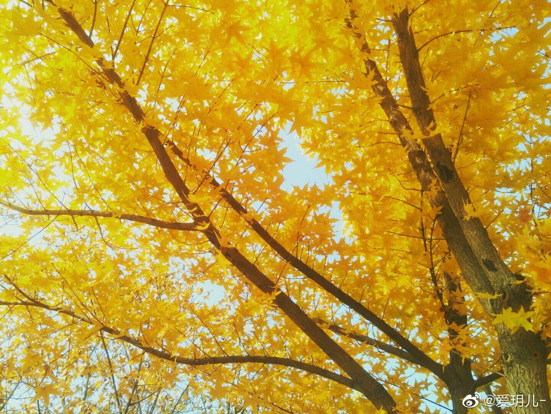 秋天的枫树梦幻唯美,原创拍摄 @中国图库冯飞燕 @中国图库tukuchina