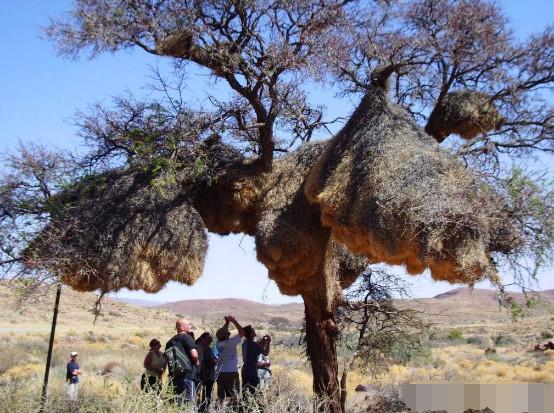 树上挂满奇怪干草堆,游客好奇抬头查看,下一秒赶紧把头收了回来