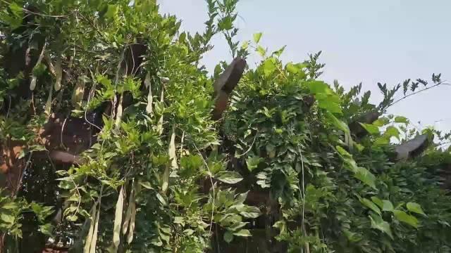 依依绿叶覆木架,垂垂豆角蔓藤间。