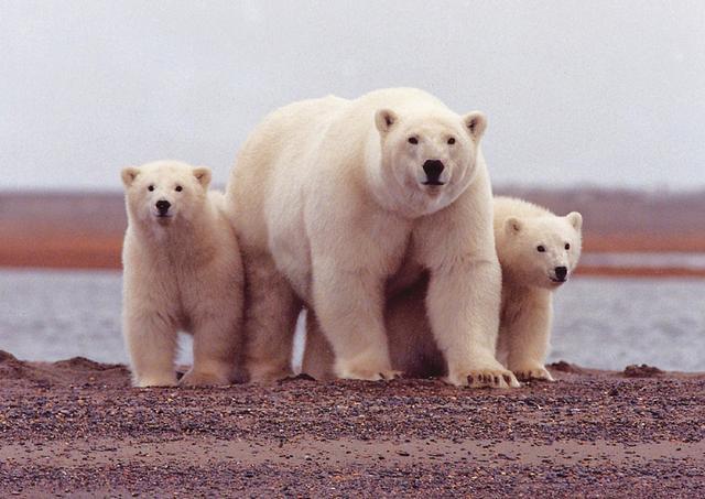 陆地上最大肉食动物,称霸整个北极冰盖