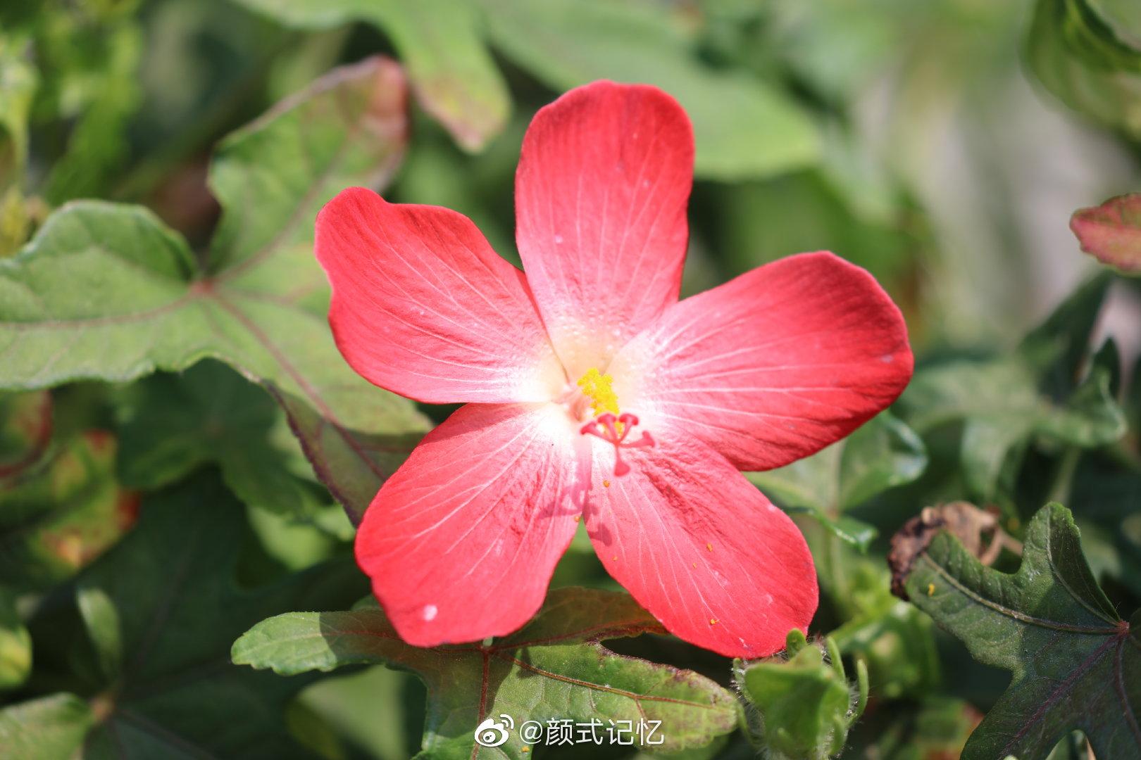 红花马宁(五指山参、箭叶秋葵)。拍摄于广州.华南植物园。