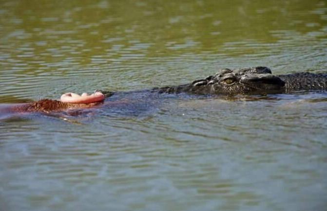 小马宝宝刚一出手就得面对大自然的残酷 惨遭鳄鱼捕食
