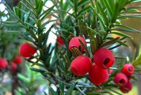 红豆杉别称紫杉、扁柏、红豆树、赤柏松