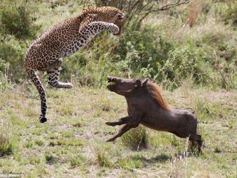 母豹飞身跃起捕食疣猪: 姿势优雅一击致命