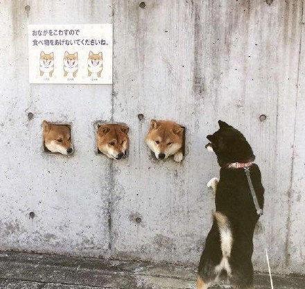 """日本网红犬""""卡洞3柴"""" —— 据说,这3只柴犬是当地一位医生的宠物"""
