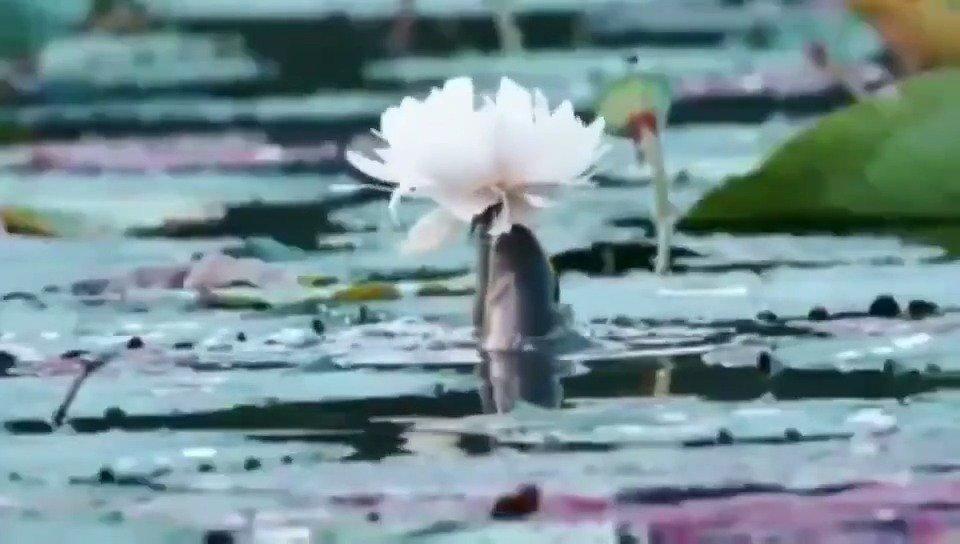 鲤鱼戏白莲,遇见者一生平安