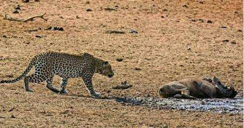 疣猪死去躺在地上已成干尸, 猎豹见后却还要反复试探是有多胆小