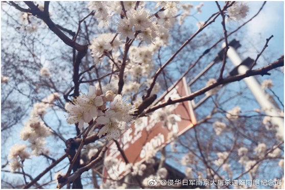 """鸡鸣寺的""""消息树""""樱桃花开了,玄武湖梁洲上的梅花开了"""