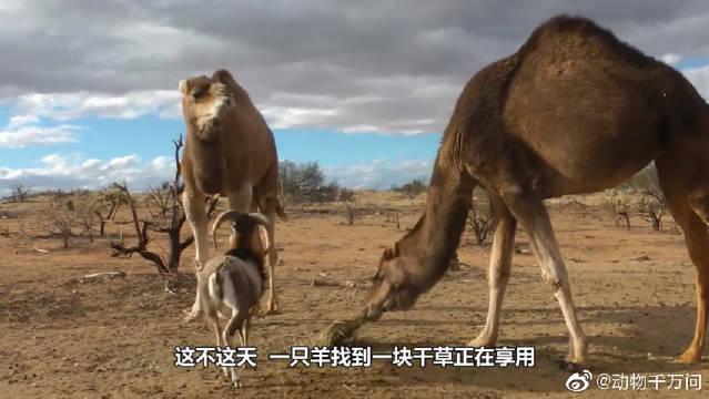 骆驼合伙欺负一头羊,正打算一口咬下去时,意想不到的画面出现