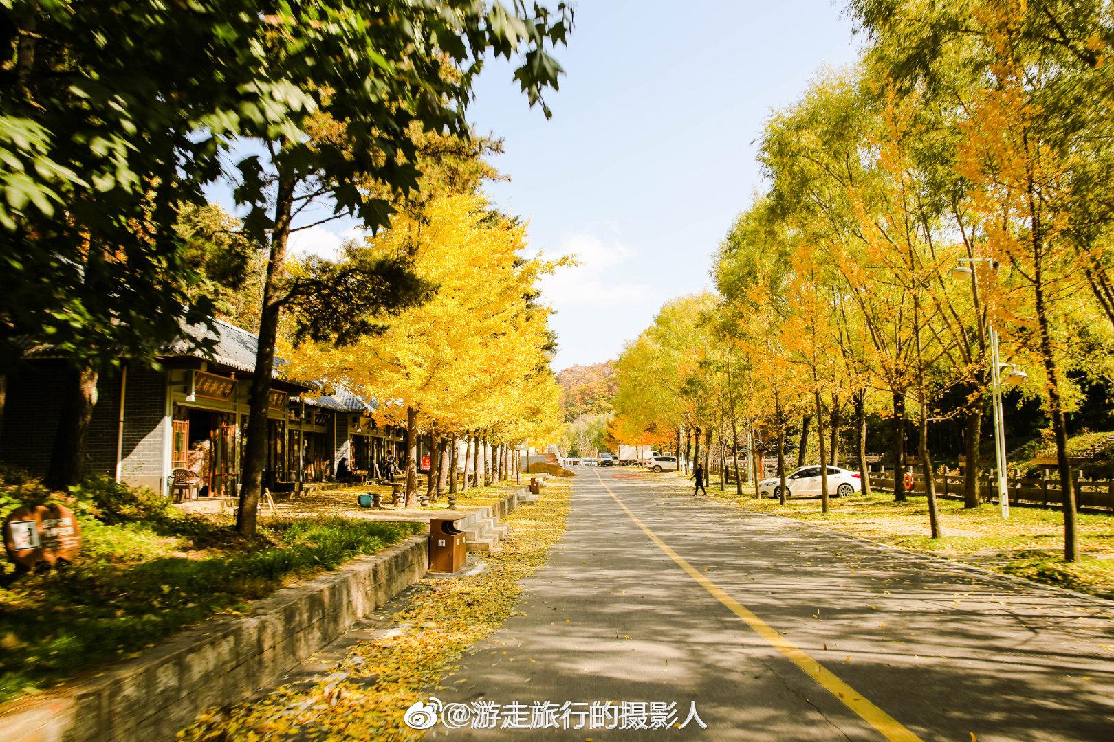 银杏树的美一起把这份和秋天的色彩传递给亲朋好友 洛阳嵩县五马