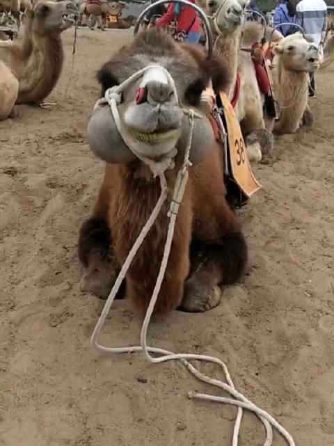 突然发现骆驼也好可爱!