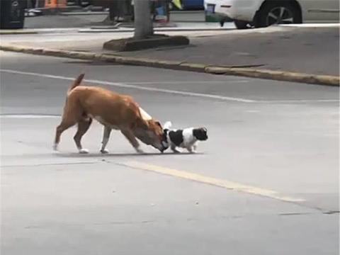 小狗在马路上玩耍,大黄狗叼着狗崽拖回家,黄狗:马路上危险……