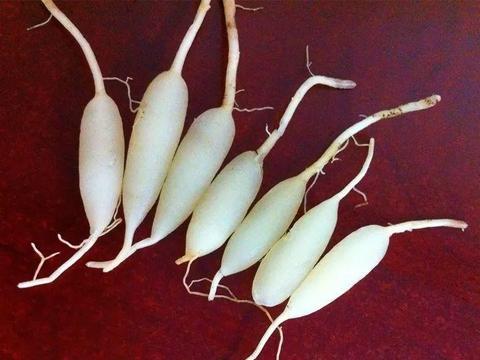花盆土里掺点它,花根养的像白萝卜,胖得比手指还粗!
