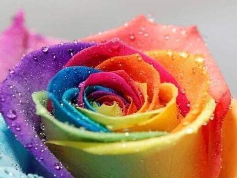 喜欢菊花,不如养盆七彩玫瑰,似彩虹阳光,绚丽多姿,寓意美好