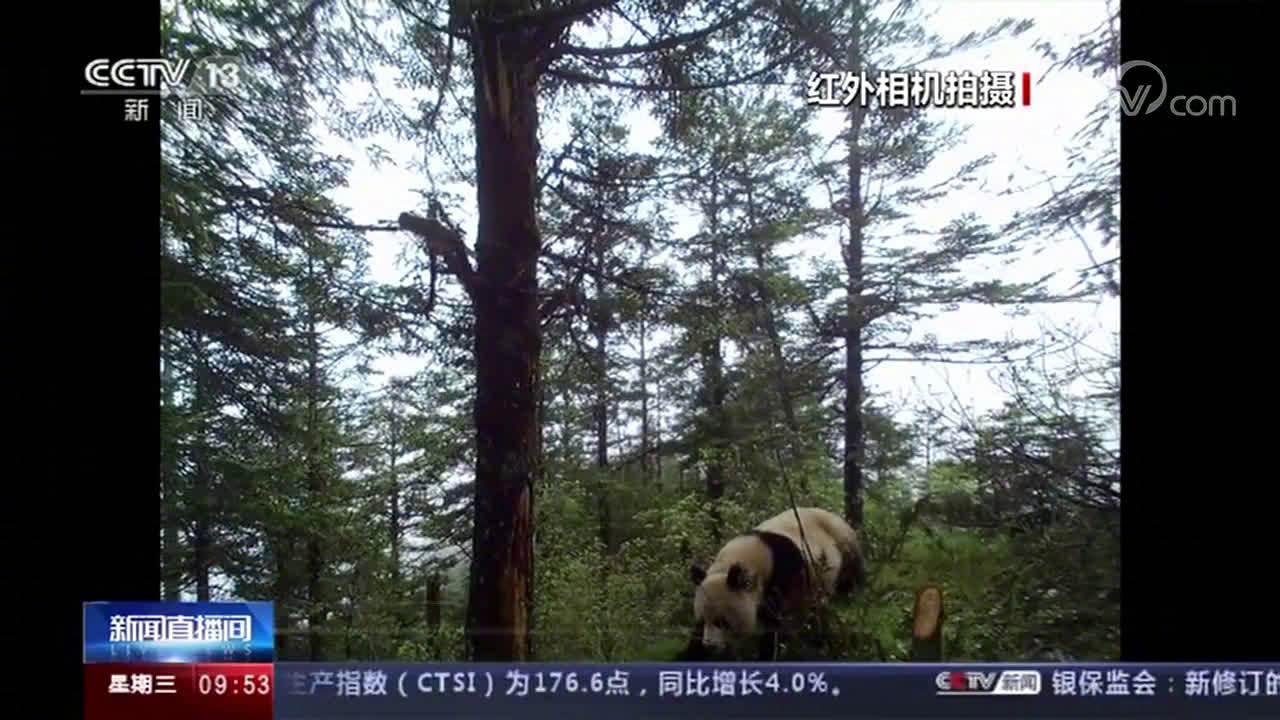 四川阿坝自然保护区拍到大熊猫 金丝猴影像