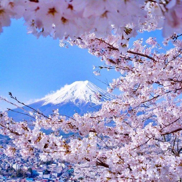 早安, 樱花与远处的富士山 @微博艺术