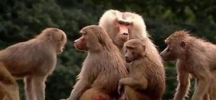 共享祖先?科学家发现狒狒在2500万年前已具备语言能力